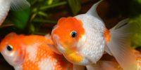 ماهی گلدفیش