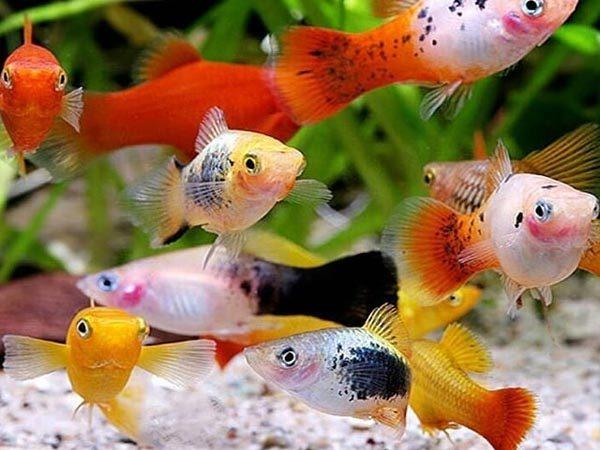 ماهی پلاتی