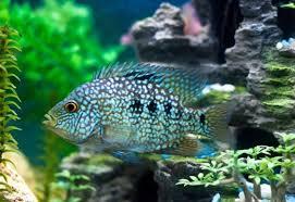 ماهی تگزاس